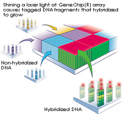 Shining a laser light at GeneChip(R) array causes tagged DNA fragments that hybridized to glow.
